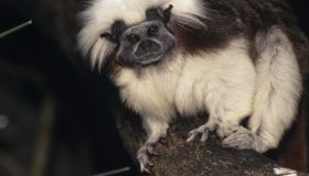 Cotton-top tamarin (Saguinus oedipus), Central or South America